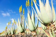 Aloes Vera Obrazy Royalty Free
