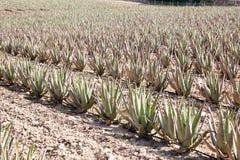 Aloes Vera: plantacja leczniczy aloes Vera obraz royalty free