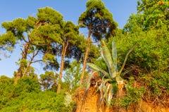 Aloes Vera r na krawędzi niewygładzonej falezie Zdjęcia Royalty Free