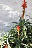 Aloes, wiek roślina Obraz Stock