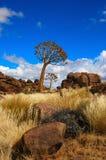 aloesu dichotoma kołczanu drzewa Zdjęcia Stock