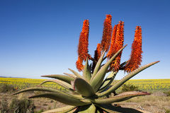 Aloesu Ferox roślina Obrazy Royalty Free