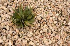 Aloesu ferox roślina w rockowym ogródzie Fotografia Royalty Free