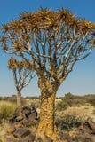 Aloesu gigantyczny drzewo w pustyni Namibia Obraz Royalty Free