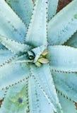 Aloesu typ tłustoszowata roślina od above Fotografia Stock