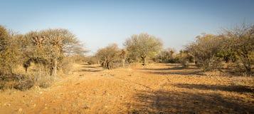 Aloesu Vera drzewa Botswana Afryka Obrazy Royalty Free