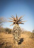 Aloesu Vera drzewa Botswana Afryka Zdjęcia Royalty Free