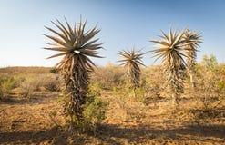 Aloesu Vera drzewa Botswana Afryka Obrazy Stock