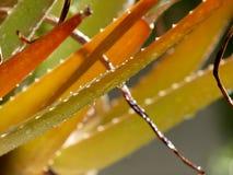 Aloesu Vera formy Fotografia Royalty Free