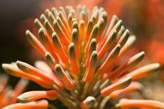 Aloesu Vera Kwiat Zdjęcie Stock