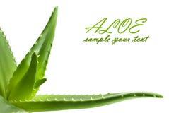 Aloesu Vera liścia świeży zbliżenie Obrazy Royalty Free
