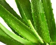Aloesu Vera liście odizolowywający Fotografia Stock