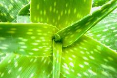 Aloesu Vera liście z białymi punktami Obraz Royalty Free