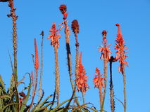 Aloesu Vera ogródu ornament Obrazy Stock