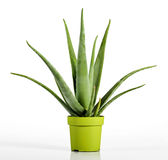 Aloesu Vera roślina na Żółtej zieleni garnku Obraz Royalty Free