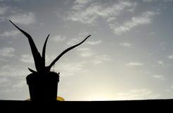 Aloesu Vera roślina na wazie obraz royalty free