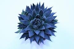 Aloesu Vera roślina strzelał od above na białym tle Fotografia Royalty Free