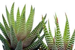 Aloesu Vera rośliny Obraz Royalty Free