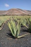 Aloesu Vera roślina na gospodarstwie rolnym Zdjęcia Royalty Free