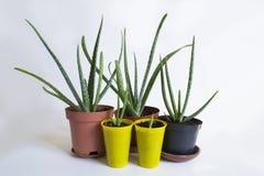 Aloesu Vera roślina w garnkach Zdjęcia Royalty Free