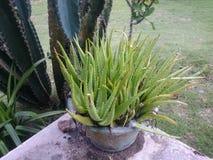 Aloesu Vera rośliny tapeta Obrazy Stock