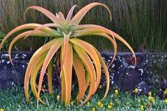 Aloeväxt i trädgård Arkivbilder