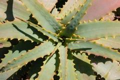 aloeväxt vera Fotografering för Bildbyråer