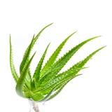Aloevera-Anlage lokalisiert auf weißem Hintergrund Stockfotos