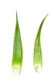 Aloevera-Anlage lokalisiert auf weißem Hintergrund Stockfoto