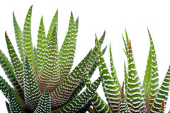 Aloevera-Anlagen Lizenzfreies Stockbild