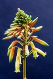 Aloevera blomma med detaljer Fotografering för Bildbyråer