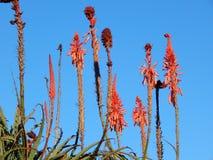 Aloevera-Gartenverzierung Stockbilder
