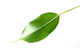 Aloevera växt på vit Royaltyfria Foton