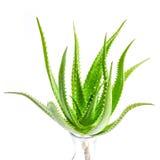 Aloevera växt som isoleras på vit bakgrund Arkivbild
