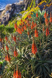 AloeVera växter Royaltyfria Bilder