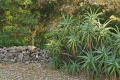 Aloevera växter och forntida vaggar väggen i träna Arkivfoton
