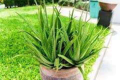Aloevera in vaso da fiori Fotografia Stock