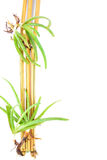 AloeVera And Yellow Bamboo With vit Backround Arkivbild