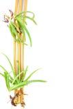 AloeVera And Yellow Bamboo With vit Backround arkivbild