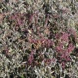 Alofite ad un prato del sale sull'isola di Sylt in autunno fotografia stock