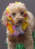 Aloha. A poodle wearing a coconut bra, grass skirt and a lei, isolated on a gray background Stock Photo