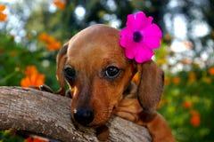 Aloha cucciolo del Dachshund Immagine Stock