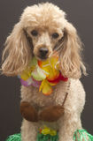 Aloha Cutie. A poodle in a coconut bra, grass skirt and a lei, isolated on a gray background Stock Photos