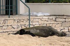 Aloha Monk Seal Immagine Stock
