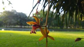 Aloifoliumdel Cymbidiumal parco immagini stock