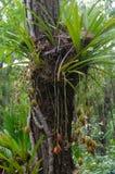 Aloifolium del Cymbidium Fotografie Stock