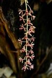 Aloifolium del Cymbidium Fotografia Stock Libera da Diritti