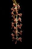 Aloifolium del Cymbidium Fotografia Stock