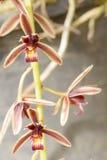 Aloifolium del Cymbidium Immagini Stock