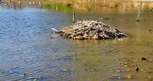 Alojamento construído por castores na lagoa de Pandapas imagens de stock royalty free